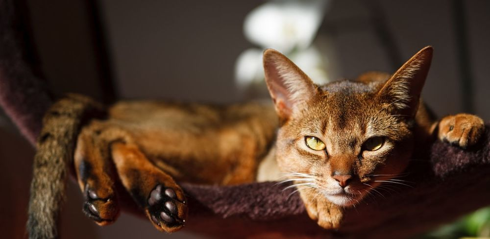 Abyssinian-cat-lounging